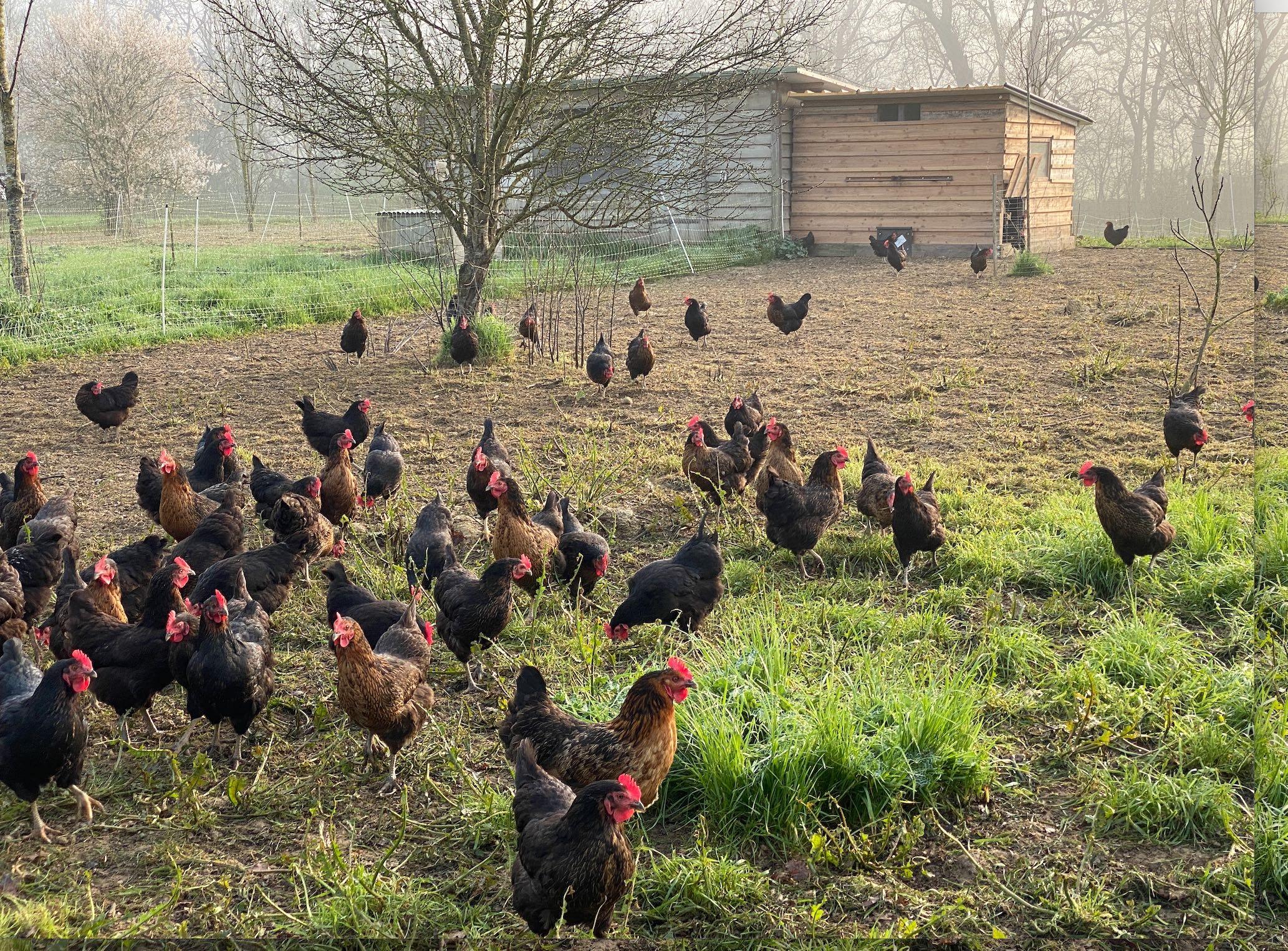 Les importations de viande de poulet ont augmenté de 55% entre 2015 et 2019 (Crédit photo : R. Lecocq)