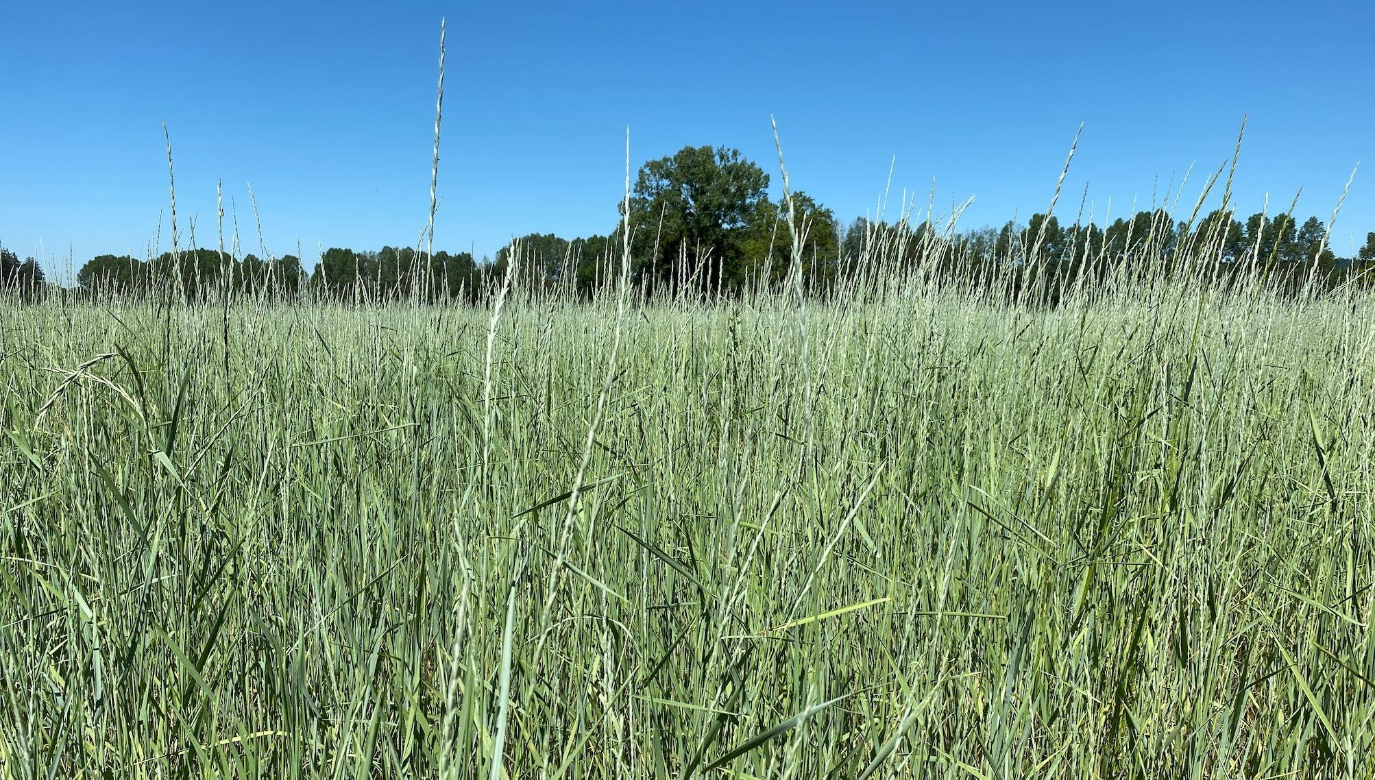 La céréale pérenne entre en production dès la première année et offrirait un optimum de rendement en grains les deuxième et troisième années