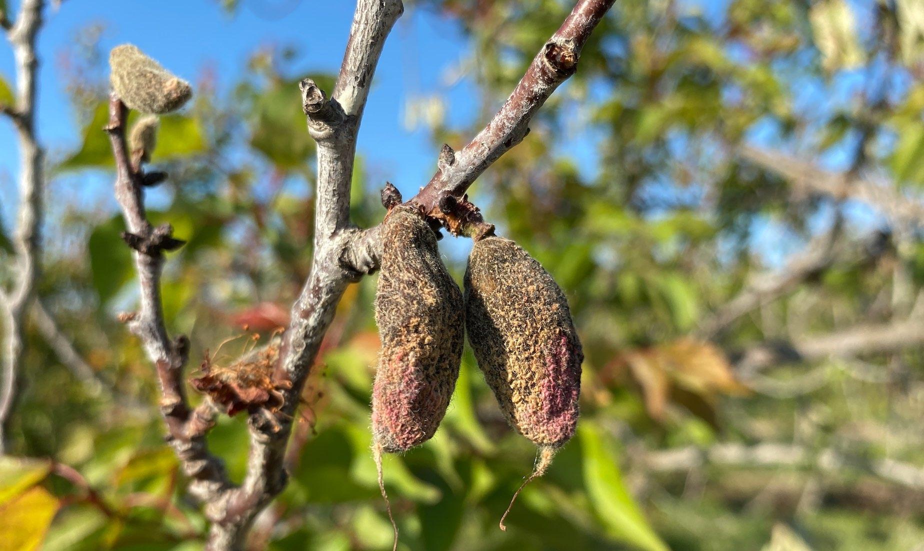 Décimée, la production d'abricot pourrait aussi être compromise l'année prochaine
